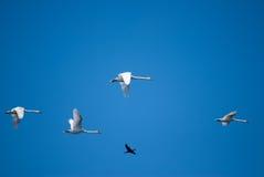 Cormoranes del vuelo sobre el lago en Rumania Fotografía de archivo libre de regalías