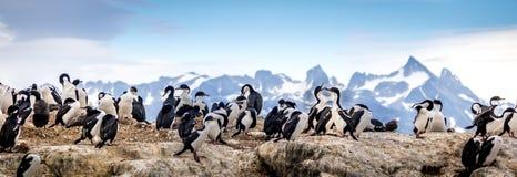 Cormoranes en canal del beagle Foto de archivo