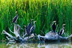 Cormoranes en el delta de Danubio Foto de archivo libre de regalías