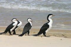 Cormoranes en la playa Fotos de archivo