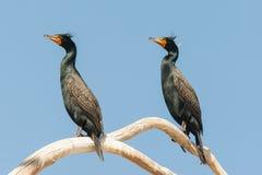 Cormoranes encaramados Fotografía de archivo