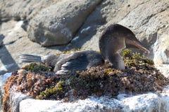 Cormoranes Flightless de la jerarquización (las Islas Galápagos, Ecuador) Foto de archivo