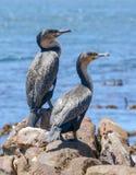 Cormoranes juveniles del cabo Fotografía de archivo