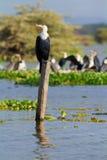 Cormoranes, lago Naivasha Fotografía de archivo libre de regalías