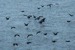 Cormoranes magníficos Imagenes de archivo