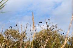 Cormoranes negros en el parque nacional de Sorek, Israel Imágenes de archivo libres de regalías
