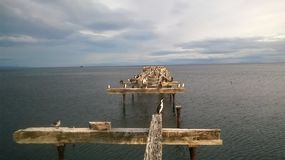 Cormoranes posados en muelle abandonado 图库摄影
