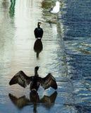 Cormoranes y gaviota Imagen de archivo