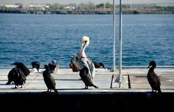 Cormoranes y pelícano cerca de la isla del refugio fotos de archivo libres de regalías