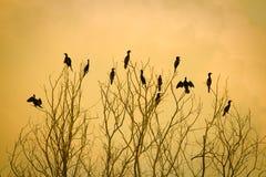 Cormorani Immagini Stock Libere da Diritti