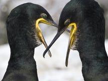Cormorani - carbo del Phalacrocorax - la Scozia Immagine Stock Libera da Diritti