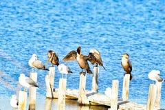 Cormorani che asciugano le ali Fotografie Stock Libere da Diritti