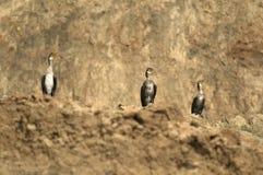 Cormorani che prendono il sole dalle rive di mare Immagine Stock Libera da Diritti