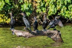 Cormorani che stanno la giungla Madre de Dios di Amazon del peruviano del ramo Fotografia Stock Libera da Diritti