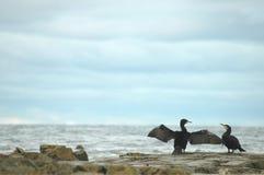 Cormorani dal carbo del Phalacrocorax del mare Immagini Stock
