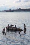 Cormorani di Costantinopoli nel mare fotografia stock