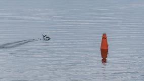 Cormorani di navigazione Fotografia Stock