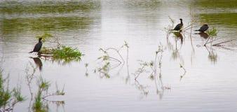Cormorani di Neotropic Fotografia Stock