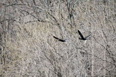 Cormorani di volo Fotografia Stock