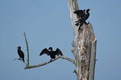 3 cormorani a doppia cresta Immagini Stock Libere da Diritti