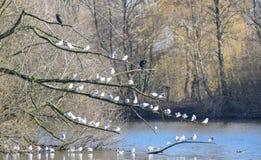 Cormorani e gabbiani Fotografie Stock Libere da Diritti