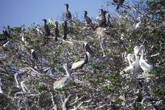 Cormorani e pellicani al parco nazionale dei terreni paludosi, 10.000 isole, FL di Brown Fotografia Stock