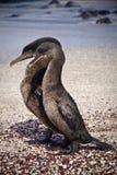 Cormorani Flightless che si accoppiano nel Galpagos Fotografia Stock