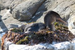 Cormorani Flightless di incastramento (Galapagos, Ecuador) Fotografia Stock