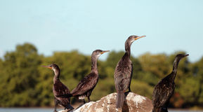 Cormorani indiani (fuscicollis del Phalacrocorax) Immagini Stock Libere da Diritti