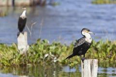 Cormorani nel lago Naivasha, Kenya Fotografie Stock