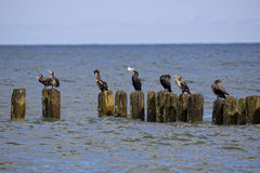 Cormorani neri dal mare Immagine Stock Libera da Diritti