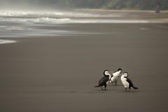Cormorani pezzati australiani sulla spiaggia vulcanica Fotografia Stock