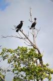Cormorani (Phalacrocoracidae) Placencia, Belize Fotografia Stock
