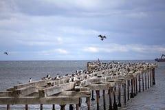 Cormorani a Punta Arenas, Cile Immagine Stock Libera da Diritti