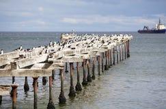 Cormorani a Punta Arenas, Cile Fotografie Stock