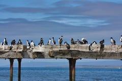 Cormorani su una vecchia fine del pilastro su Immagine Stock Libera da Diritti