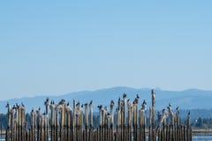 Cormorani sugli accatastamenti Fotografia Stock