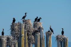 Cormorani sugli accatastamenti Fotografia Stock Libera da Diritti