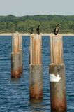 Cormorani sulle colonne Fotografie Stock Libere da Diritti