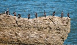 Cormorani sulle rocce del pancake immagini stock