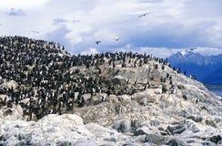Cormorani sulle rocce vicino al Manica del cane da lepre ed alle isole dei ponti, Ushuaia, Argentina del sud Fotografia Stock Libera da Diritti