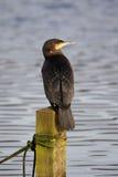 Cormorano - carbo del Phalacrocorax Fotografie Stock Libere da Diritti