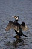 Cormorano - carbo del Phalacrocorax Fotografia Stock Libera da Diritti