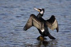 Cormorano - carbo del Phalacrocorax Immagini Stock Libere da Diritti