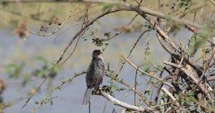Cormorano a coda lunga sul ramo di albero stock footage