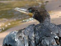 Cormorano di Neotropic o cormorano olivaceo immagine stock