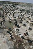 Cormorano di re, albiventer di phalacrocorax atriceps Fotografia Stock