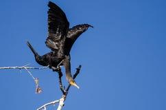 Cormorano a doppia cresta che allunga le sue ali mentre appollaiato in albero alto Fotografie Stock Libere da Diritti