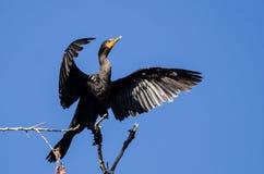 Cormorano a doppia cresta che allunga le sue ali mentre appollaiato in albero alto Fotografia Stock Libera da Diritti