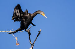 Cormorano a doppia cresta che allunga le sue ali mentre appollaiato in albero alto Fotografia Stock